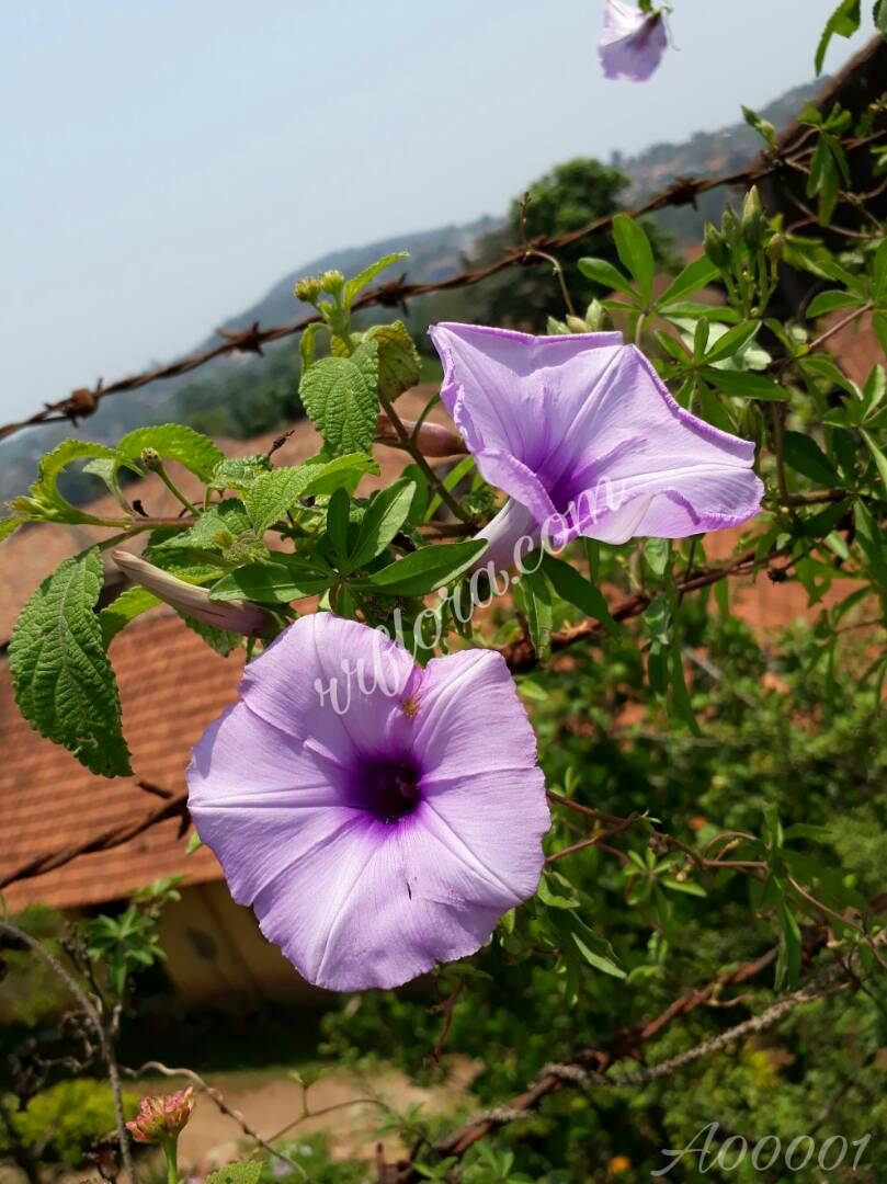 Beautiful bell shaped Lavender flower in Coorg