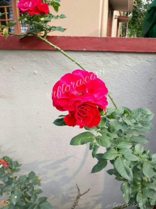 Beautiful Red Rose bunch at Coorg