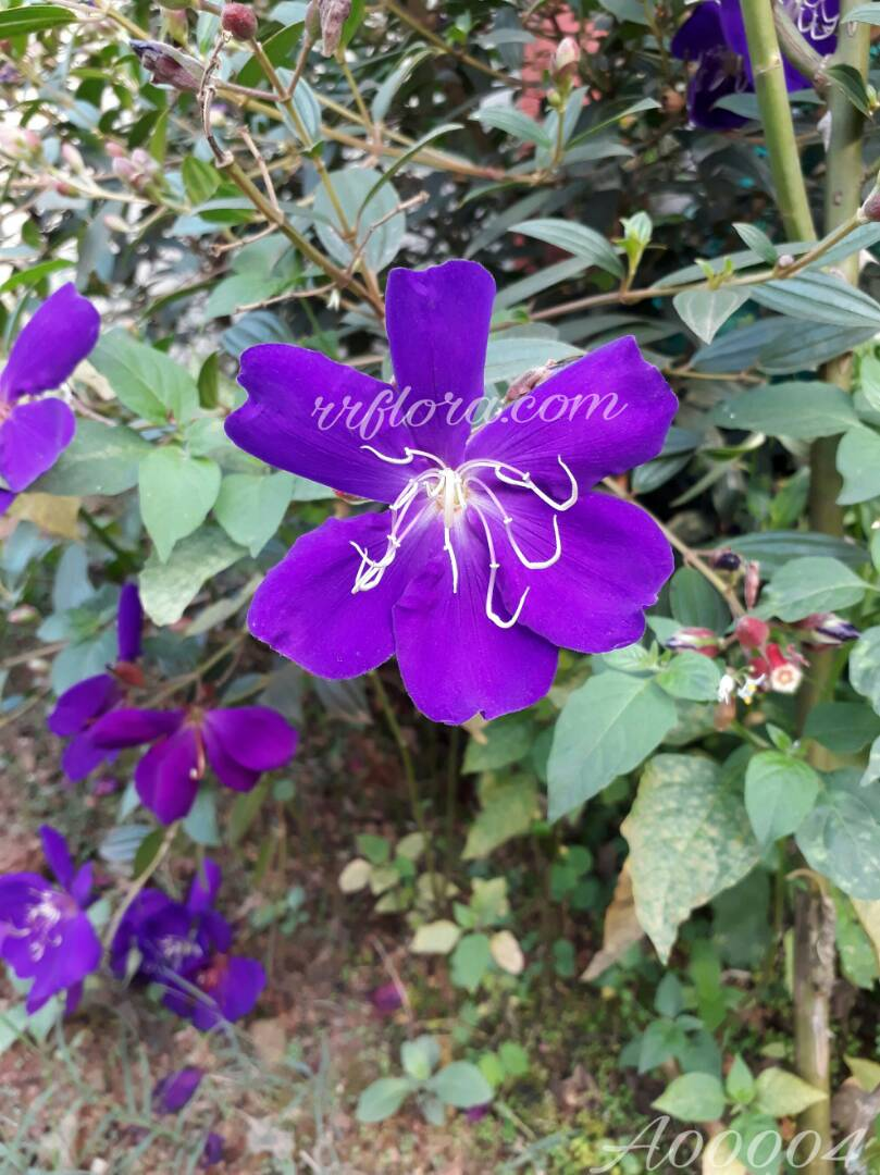 Beautiful Violet flower at Coorg