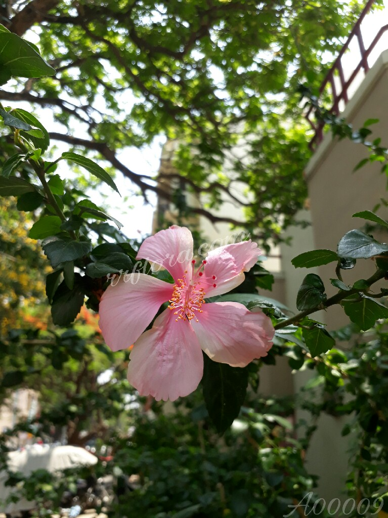 Pretty Pink Hibiscus taken snap at koramangala, Bangalore