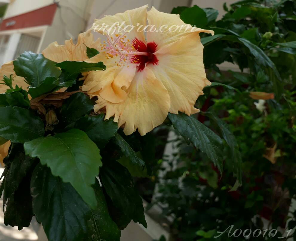 Beautiful Yellow Hibiscus at Koramangala, Bangalore