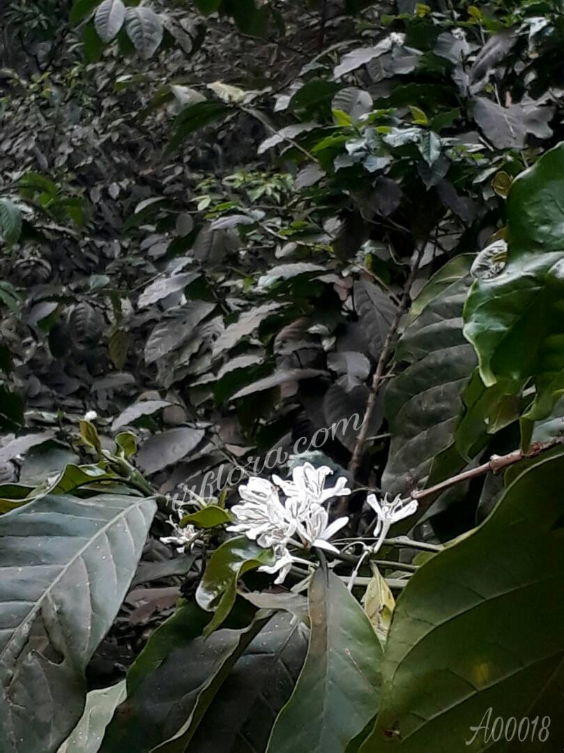 The fragrance, shape and colour of Coffee Flower looks slightly similar to Jasmine variant. Snap taken at Coorg