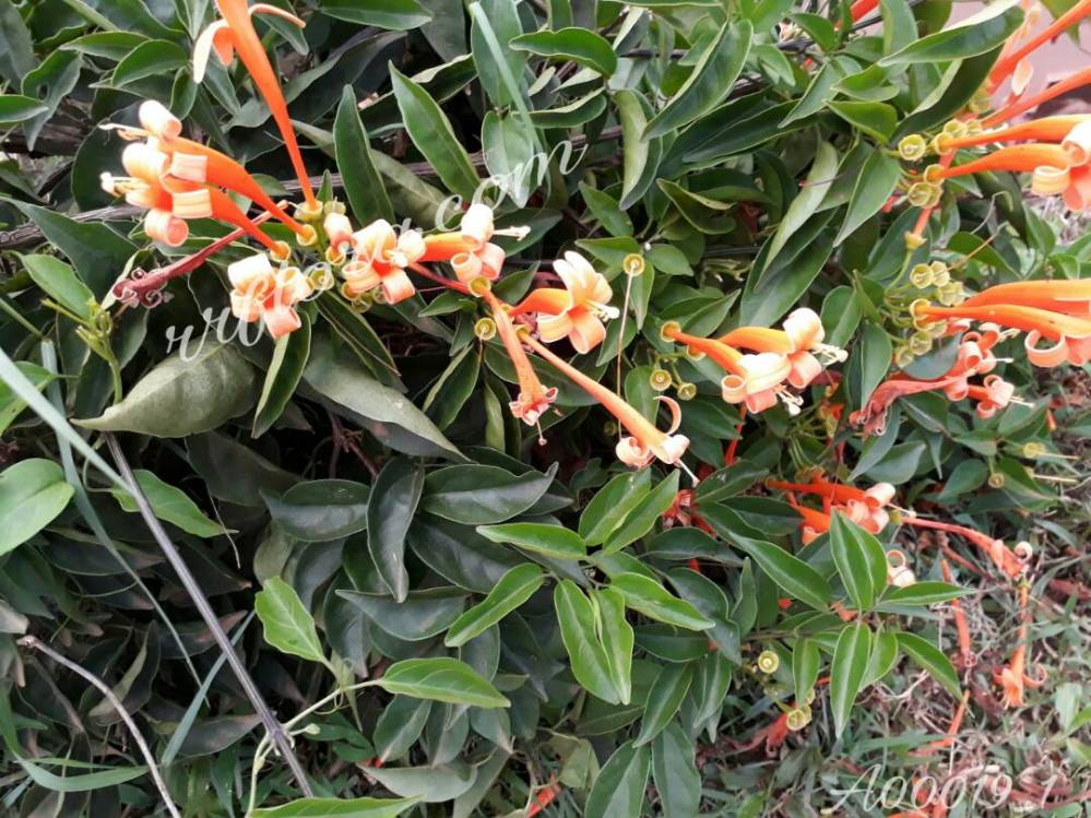Beautiful curly orange colour flowers looking very attractive at Coorg