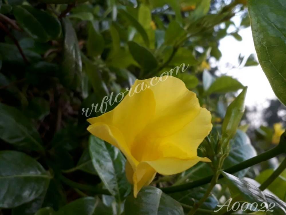 Beautiful Yellow blossom at Bangalore.