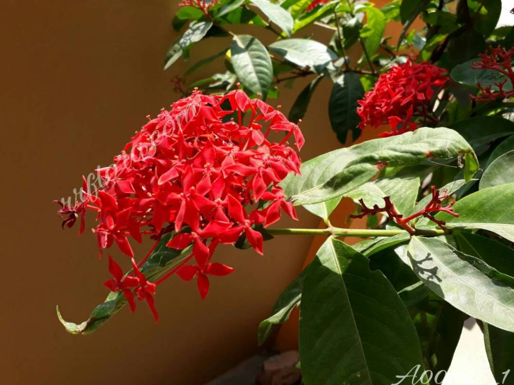 Beautiful and Fragrant flowering bush of Red Raat ki rani flower at Chirala.