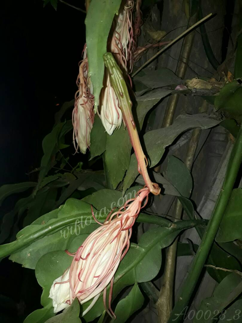 Amazing and beautiful Night blooming cereus also called as Brahma kamal, which blooms after nightfall. It was taken at Silk board, Bangalore.
