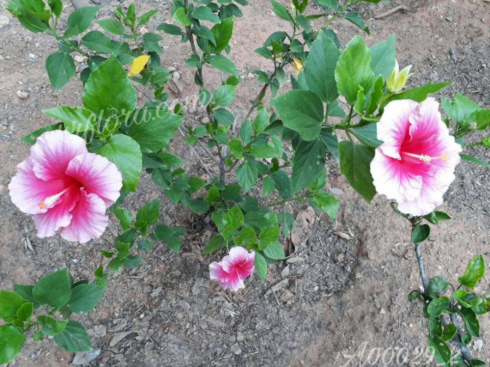 Beautiful and pretty Lite pink and dark pink combination Hibiscus flower at Koramangala, Bangalore
