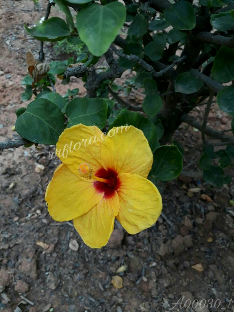 Beautiful and colourful Yellow and maroon shaded hibiscus at Koramangala, Bangalore