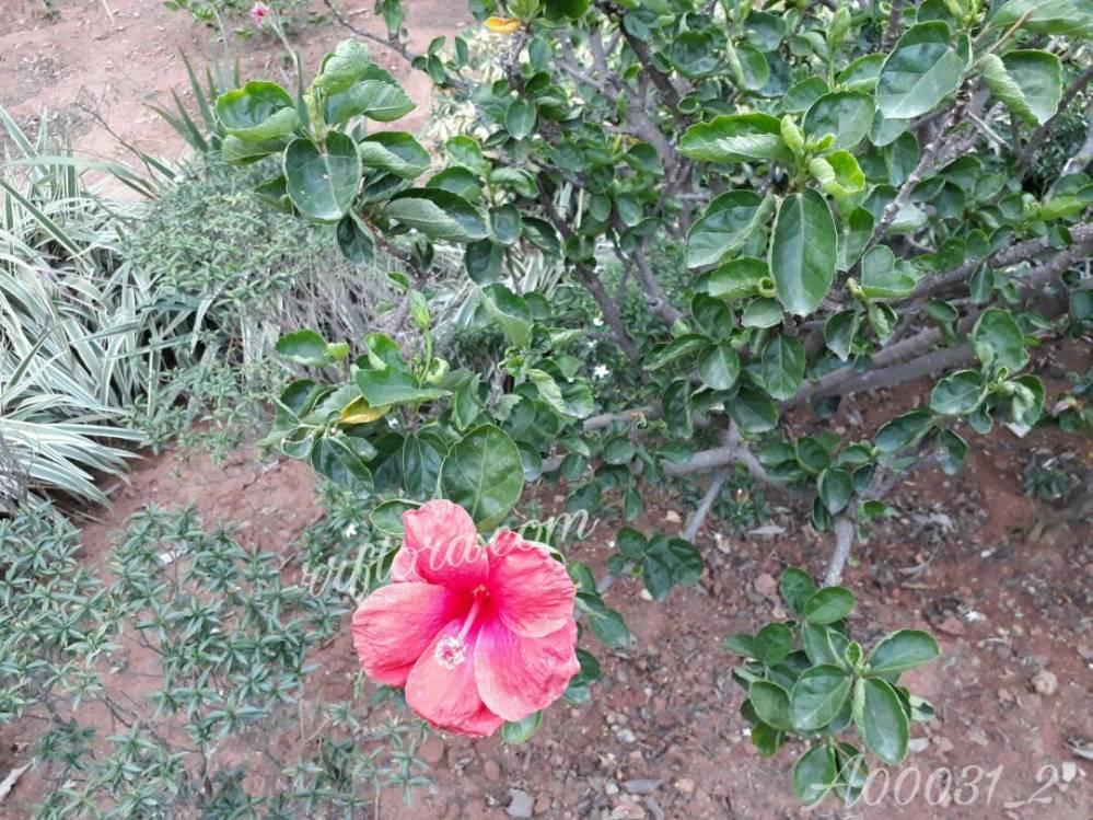 Beautiful and pretty Pink Hibiscus at Koramangala, Bangalore