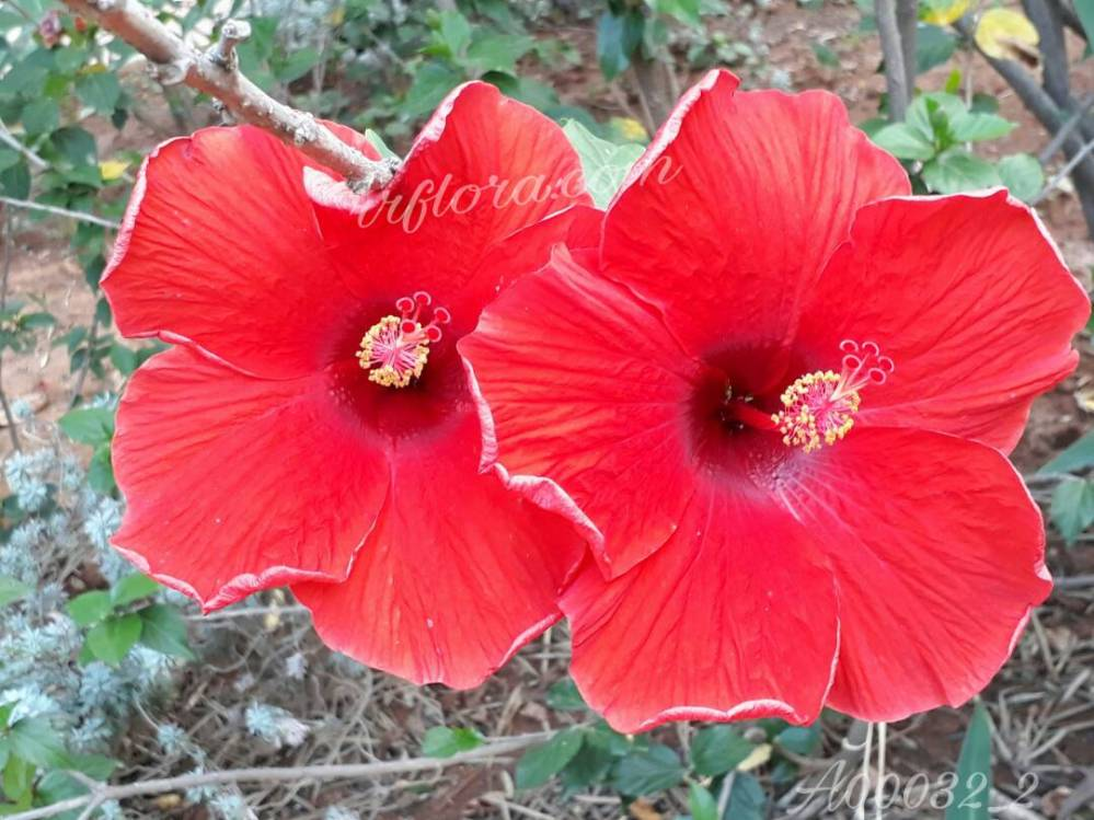 Attractive and  wide Red Hibiscus at Koramangala, Bangalore