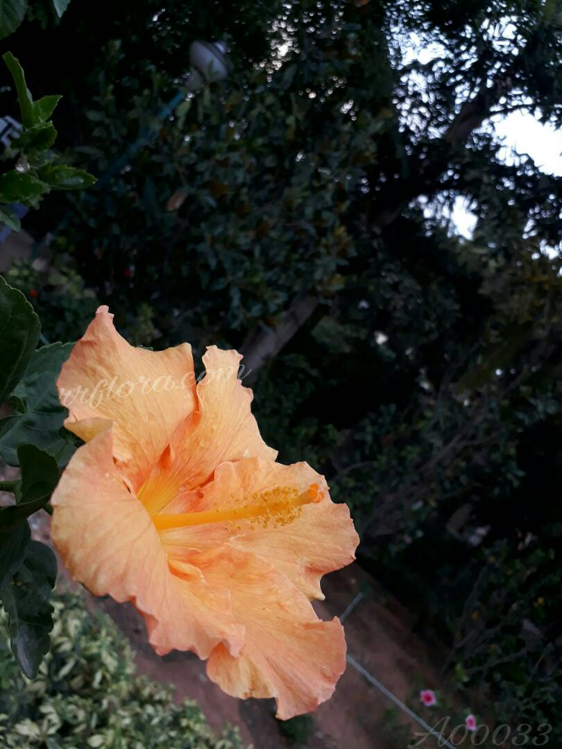 Beautiful Light Orange Hibiscus at Koramangala, Bangalore