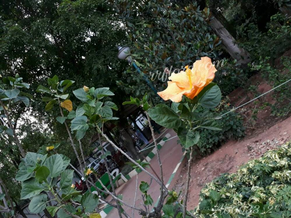 Beautiful Light Orange Hibiscus at Koramangala, Bangalore