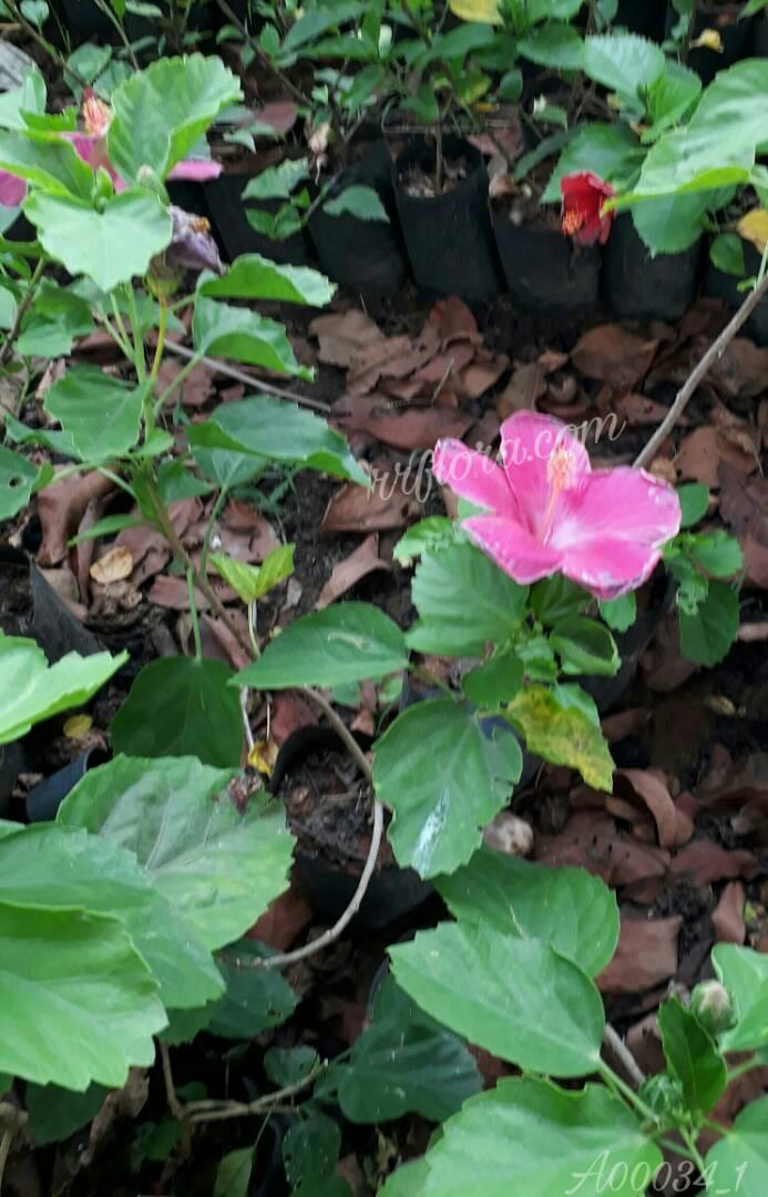 Beautiful and Pretty Pink Hibiscus. It was taken at Kadiyam Nursery, Burrilanka road, East Godavari(dt.), Rajahmundry