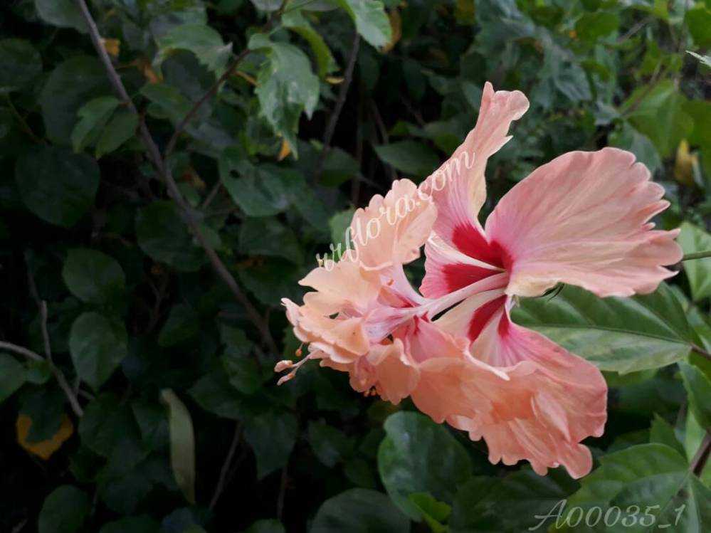 Beautiful and different Orange Cream Hibiscus. This snap was taken at Kadiyam Nursery, Burrilanka road, East Godavari(dt.), Rajahmundry