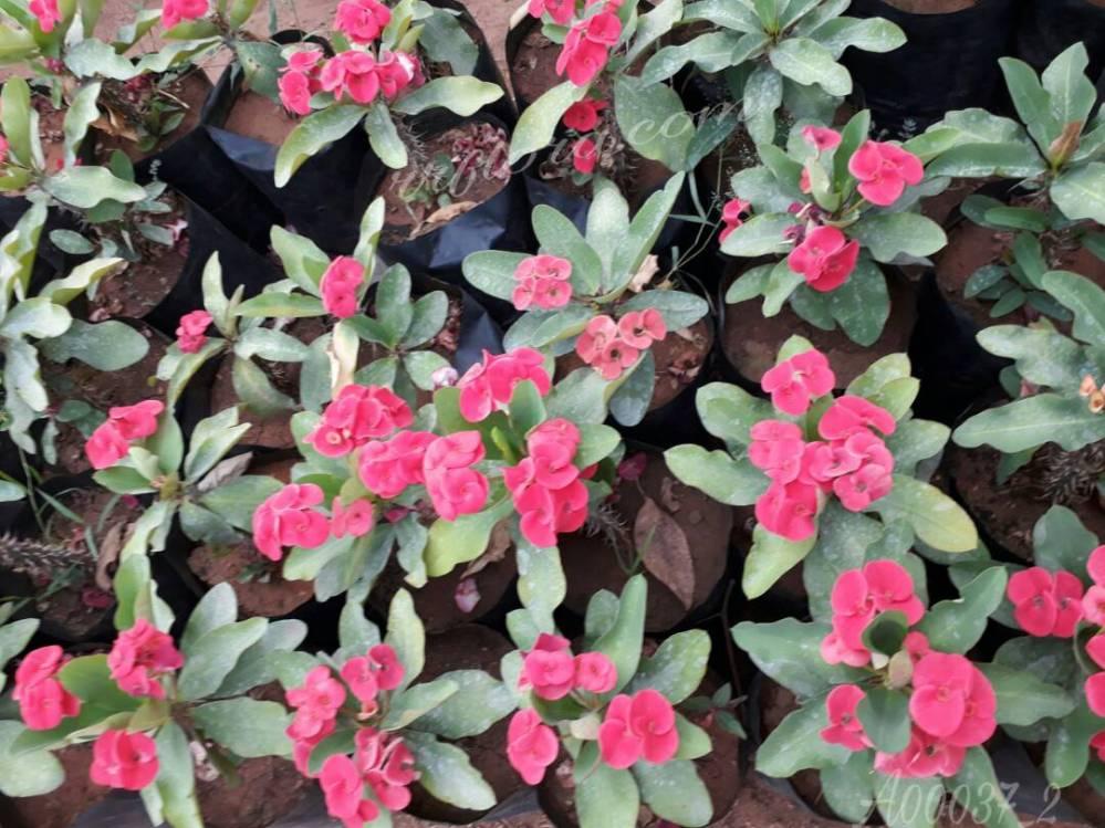 Beautiful and attractive flower at Sri Venkateswara Rose Gardens, Kadiyam, East Godavari(dt.), Rajahmundry