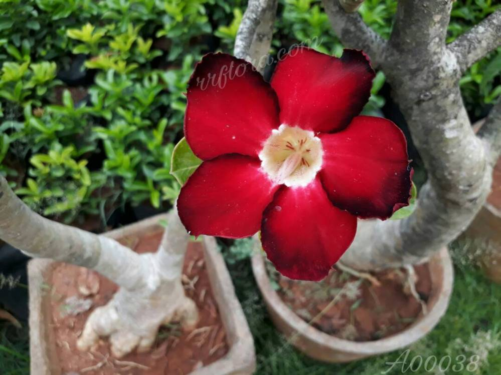 Colourful and attractive Bonsai flower at Sri Venkateswara Rose Gardens, Kadiyam, East Godavari(dt.), Rajahmundry