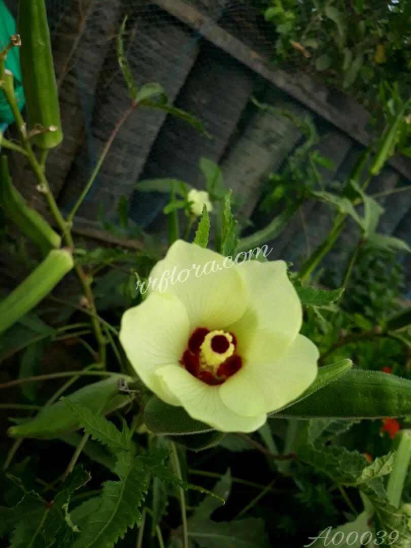 It is very popular grown in India. It was taken at Atreyapuram, East Godavari(dt.), Rajahmundry