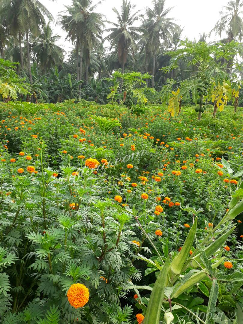 Colourful and attractive most popular Marigold flower at Atreyapuram, East Godavari(dt.), Rajahmundry