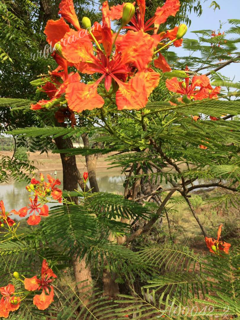 Colourful and attractive Gulmohar  at Atreyapuram, East Godavari(dt.), Rajahmundry
