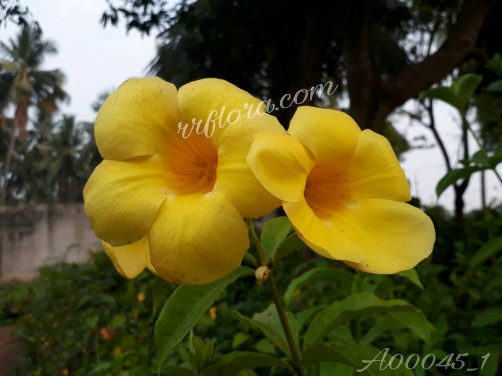 Beautiful and attractive flower at Kadiyam Nursery, Burrilanka Road, East Godavari(dt.), Rajahmundry