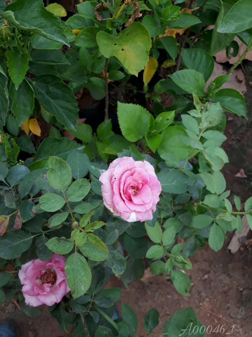 Pretty Pink Rose flower at Kadiyam Nursery, Burrilanka Road, East Godavari(dt.), Rajahmundry