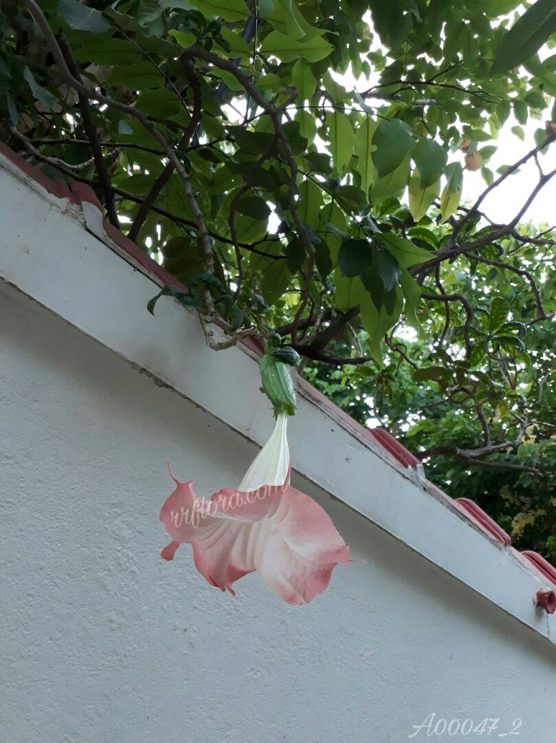 Beautiful Bell shaped Datura flower at Koramangala, Bangalore.
