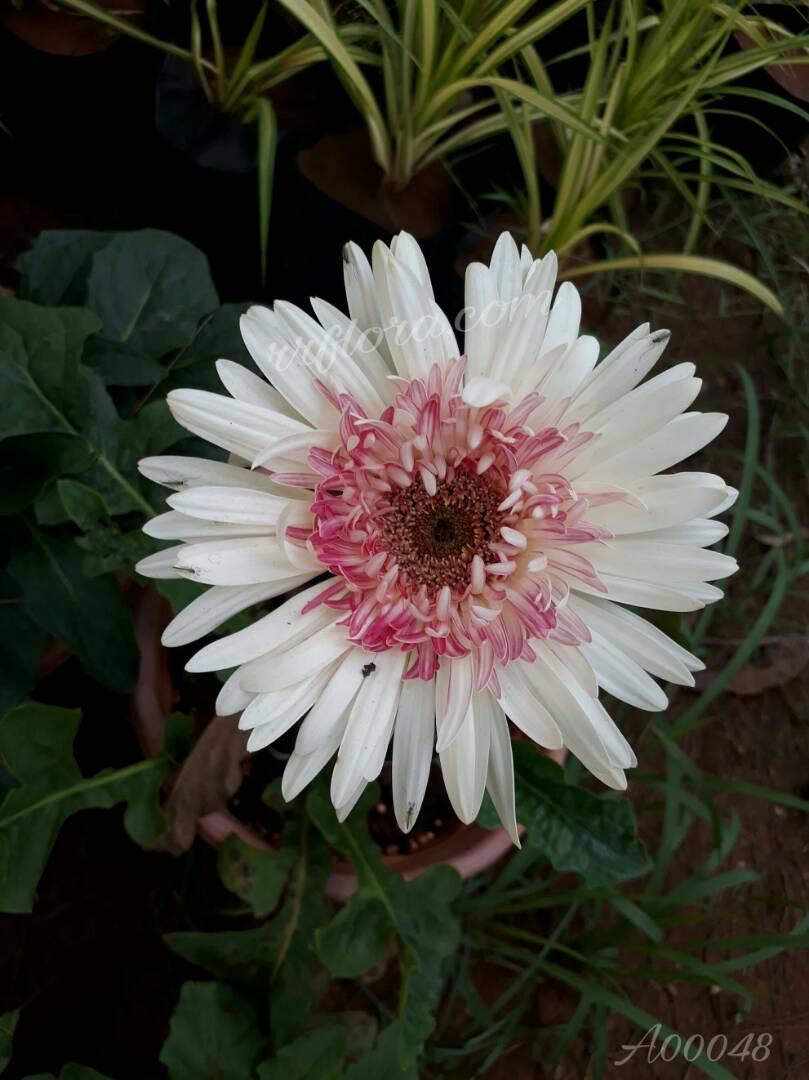 Beautiful and attractiveflowerat Kadiyam Nursery, Burrilanka Road, East Godavari(dt.), Rajahmundry