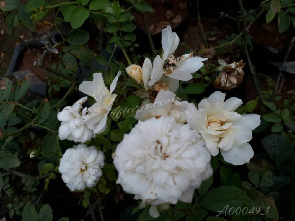 Peaceful and pretty white rose flowerat Kadiyam Nursery, Burrilanka Road, East Godavari(dt.), Rajahmundry