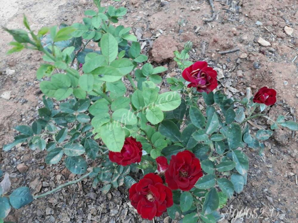 Colourful and attractive Dark Red Rose at Koramangala,Bangalore.
