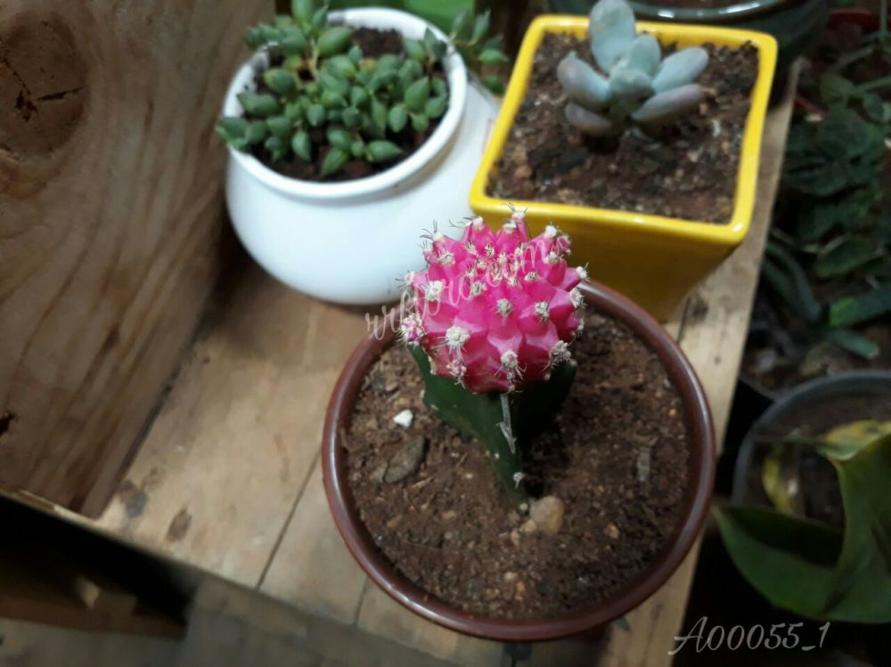 Beautiful and delicate grafted pink top cacti called Ruby Ball Cactus or Moon Cactus looked very attractive at Forum, Koramangala, Bangalore.