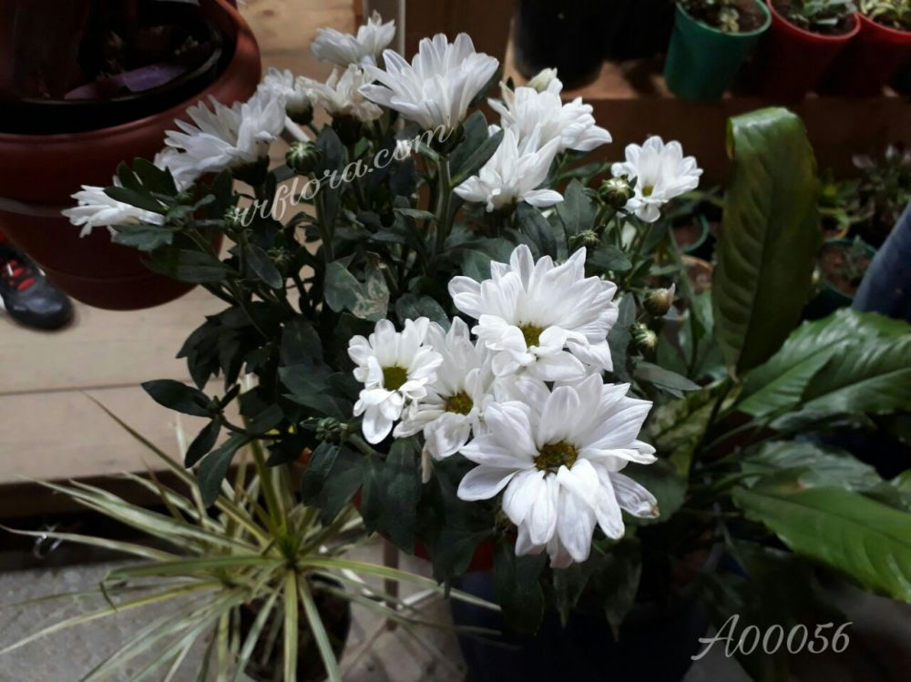 Peaceful and pretty white colour Chrysanthemum at Forum, Koramangala, Bangalore.