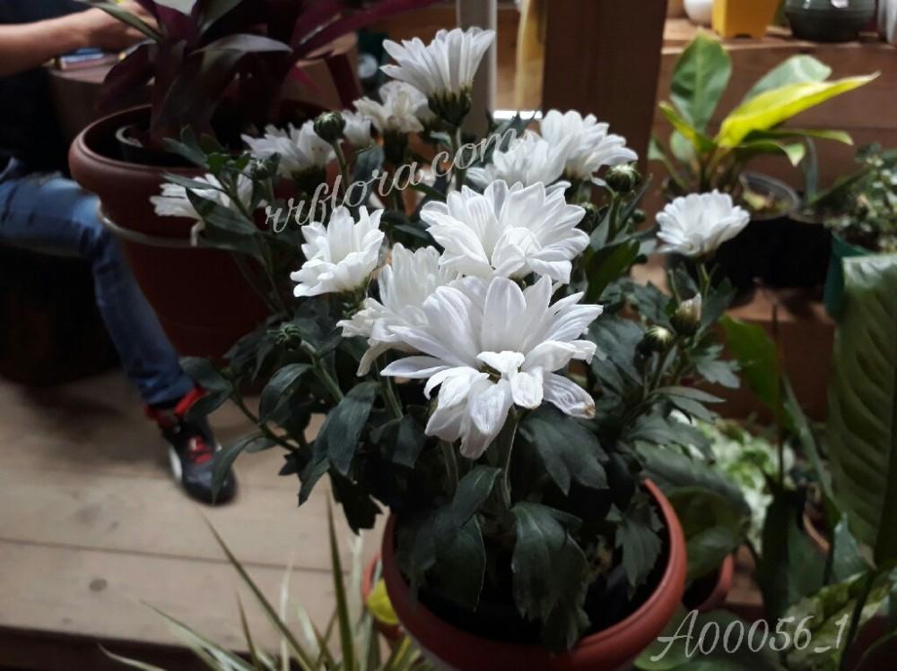 Peaceful and pretty white colour Chrysanthemum at Forum, Koramangala, Bangalore.