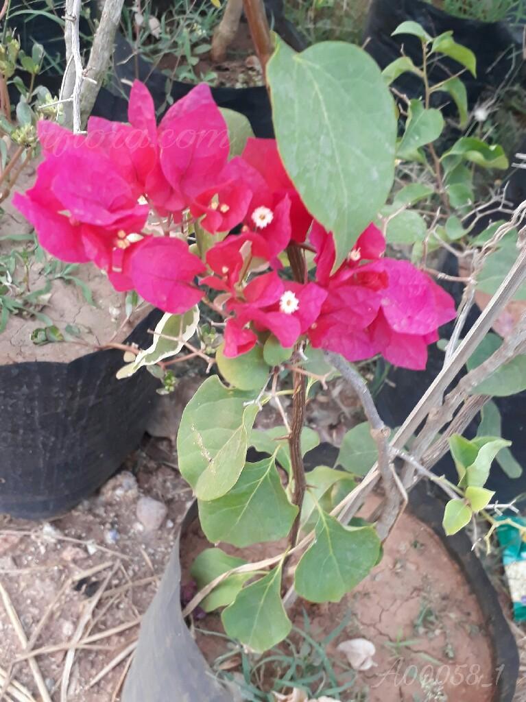 Beautiful and pretty pink flowerat Kadiyam Nursery, Burrilanka Road, East Godavari(dt.), Rajahmundry