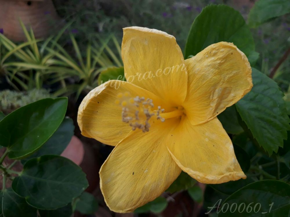 Beautiful and Colourful Yellow Hibiscus at Koramangala, Bangalore.