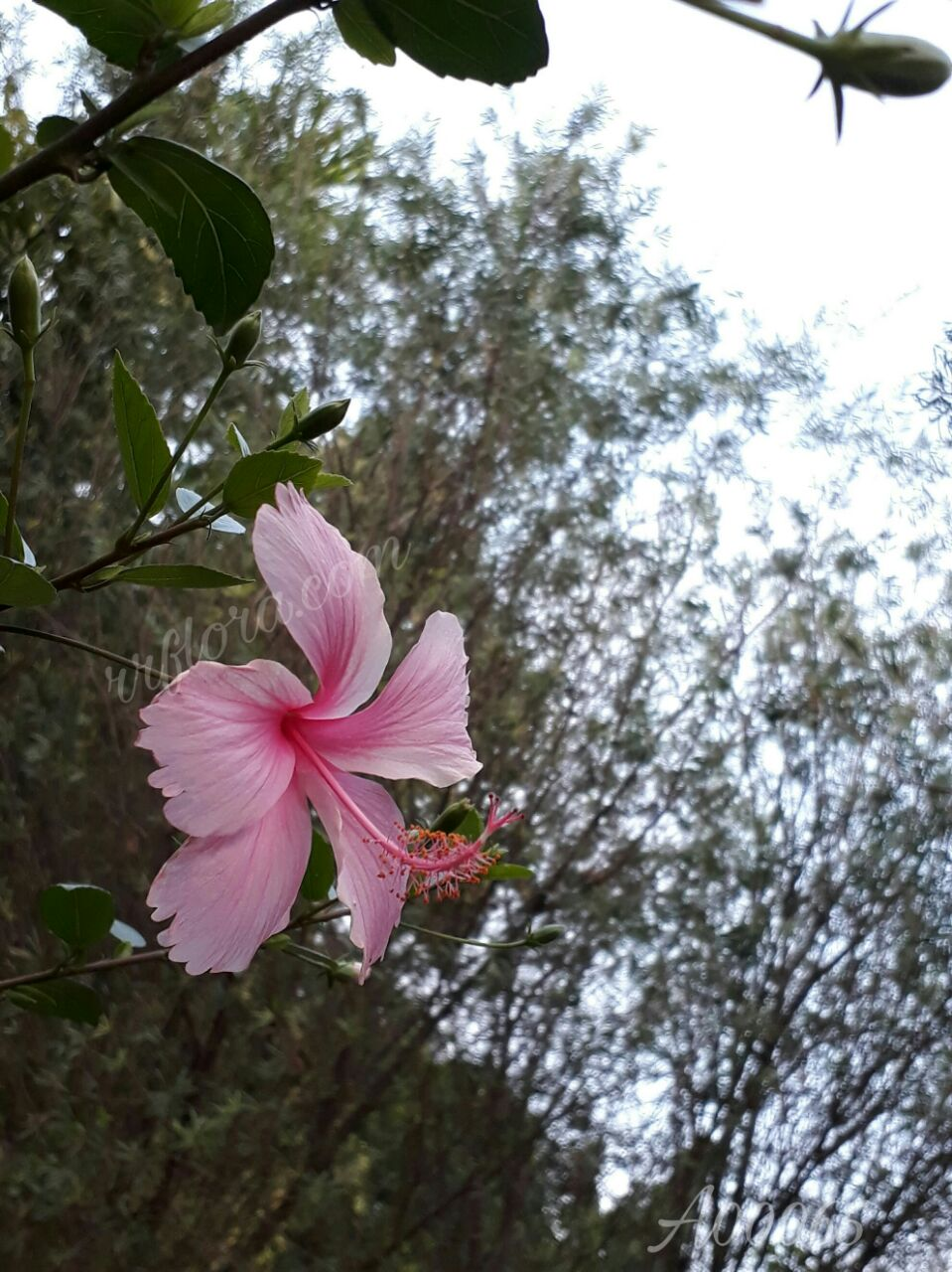 Pretty and beautiful Pink Hibiscus at Koramangala, Bangalore