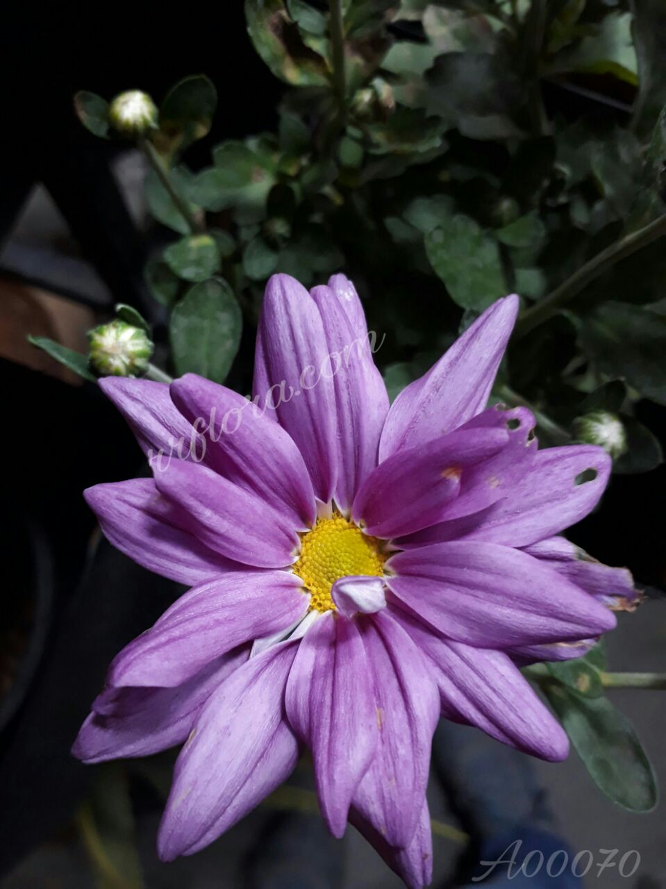Beautiful and pretty lavender colour Chrysanthemum at Forum, Koramangala, Bangalore.