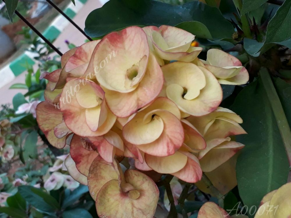 Beautiful and attractive flower at Koramangala, Bangalore.