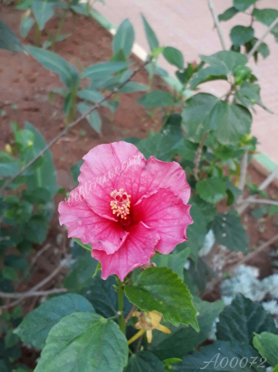 Beautiful and pretty Pink Hibiscus at Koramangala, Bangalore.