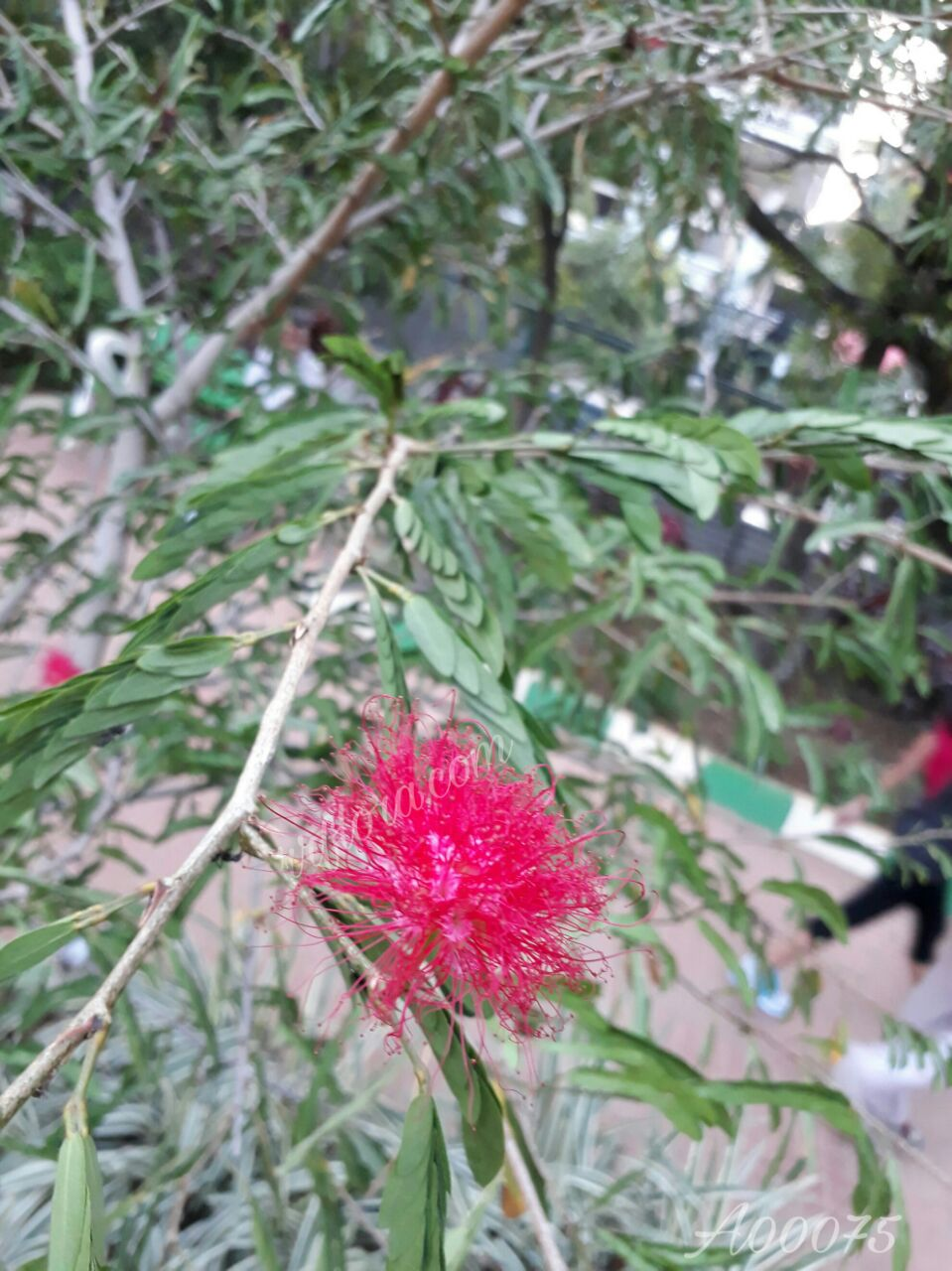 Beautiful and attractive red colour flower at Koramangala, Bangalo